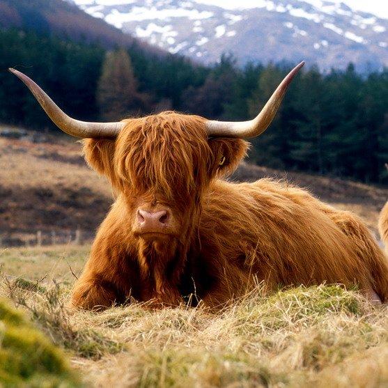 Schotland | Highlands | Highland cow