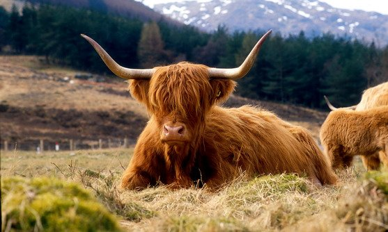 Schotland | Highlander koe